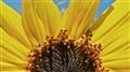 End of Summer Sunflower