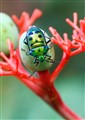Jewel Beetle