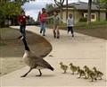 Kids, Geese, Focus?