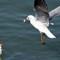 Harbour Gulls