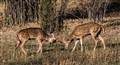 Sambhar Deer fighting!