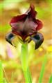 Iris Atropurpurea