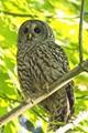 Barred Owl in our backyard greenbelt!