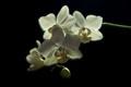 Nigkt orchid