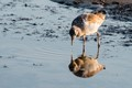 Juvenile herring gull reflection