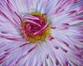 English daisy 4
