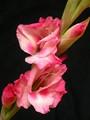 Pink Gladiolus2