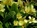 Searching for the best primula