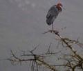 Goliath Heron in misty valley early autumn morning