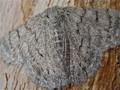 Moth Against the Bark