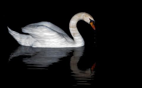 Swan_2882