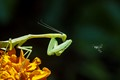 Mantis catching a bee