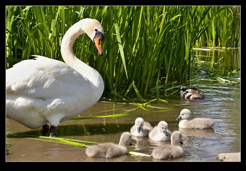 Swan_and_Cygnets