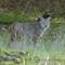 bobcat _ IMG_0132