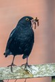 Blackbird with food for young
