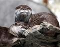 Otter...zzzz
