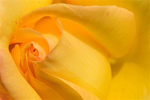 Rose of the Glen