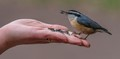 Pet Nuthatch