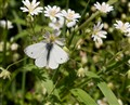 Male Small White Cabbage Butterfly