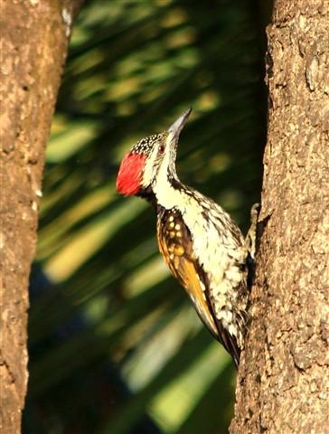 Woodpecker..