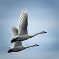 Tundra Swans Take Flight