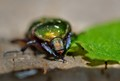 also called goldsmith beetle