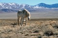 Horse, a lone wild mustang stallion