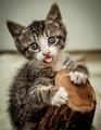 Hard Wood Soft Kitten