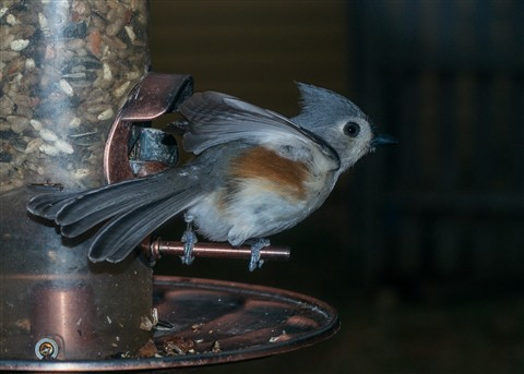 Tufted Titmouse Launching