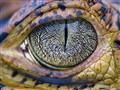 Caiman Eye-3535