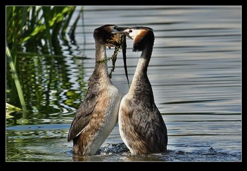 Grebe  mating rituals