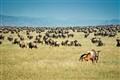 Wildebeest birth, Serengeti, Tanzania