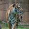 Tiger-033432