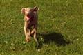 Duracell Dog