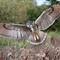 Eagle-owl-edit1
