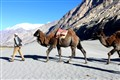 Camels at Nubra Cold desert