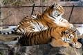 Tigers@Toronto Zoo
