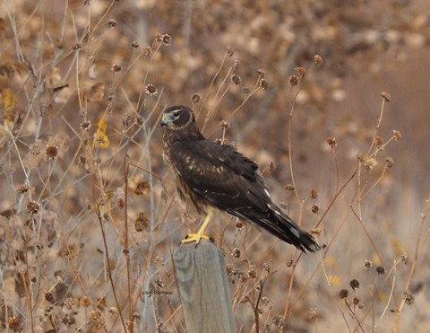 Northern Harrier BDA