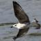 Mediterranean Seagull: At river Main