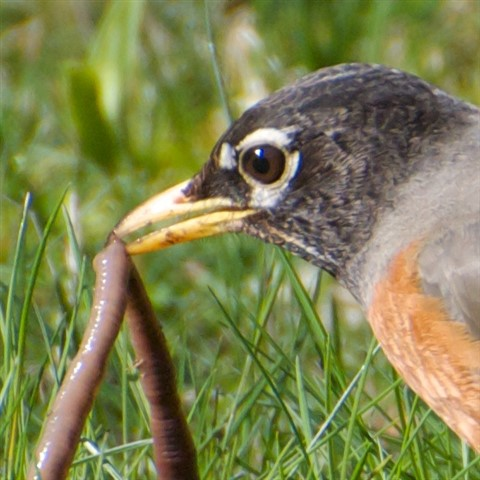 American Robin 4, 100 percent, March 2013