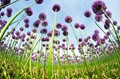 allium fields