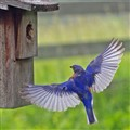 Trap Focus Bluebird