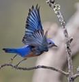 Male Western Blue Bird