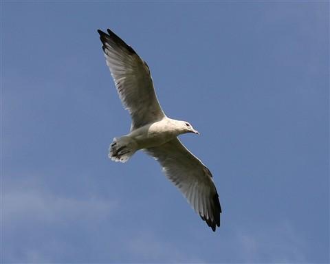 SeagullHighFlying1280_IMG_2283