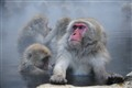 Steamy mundane life of snow monkeys