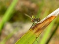 Damselfly's Eyes
