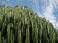 Cactus in Tamale, Ghana