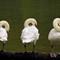 Three Swans Revised