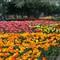 Tulip Time 14