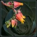 Oliveranthus Rose